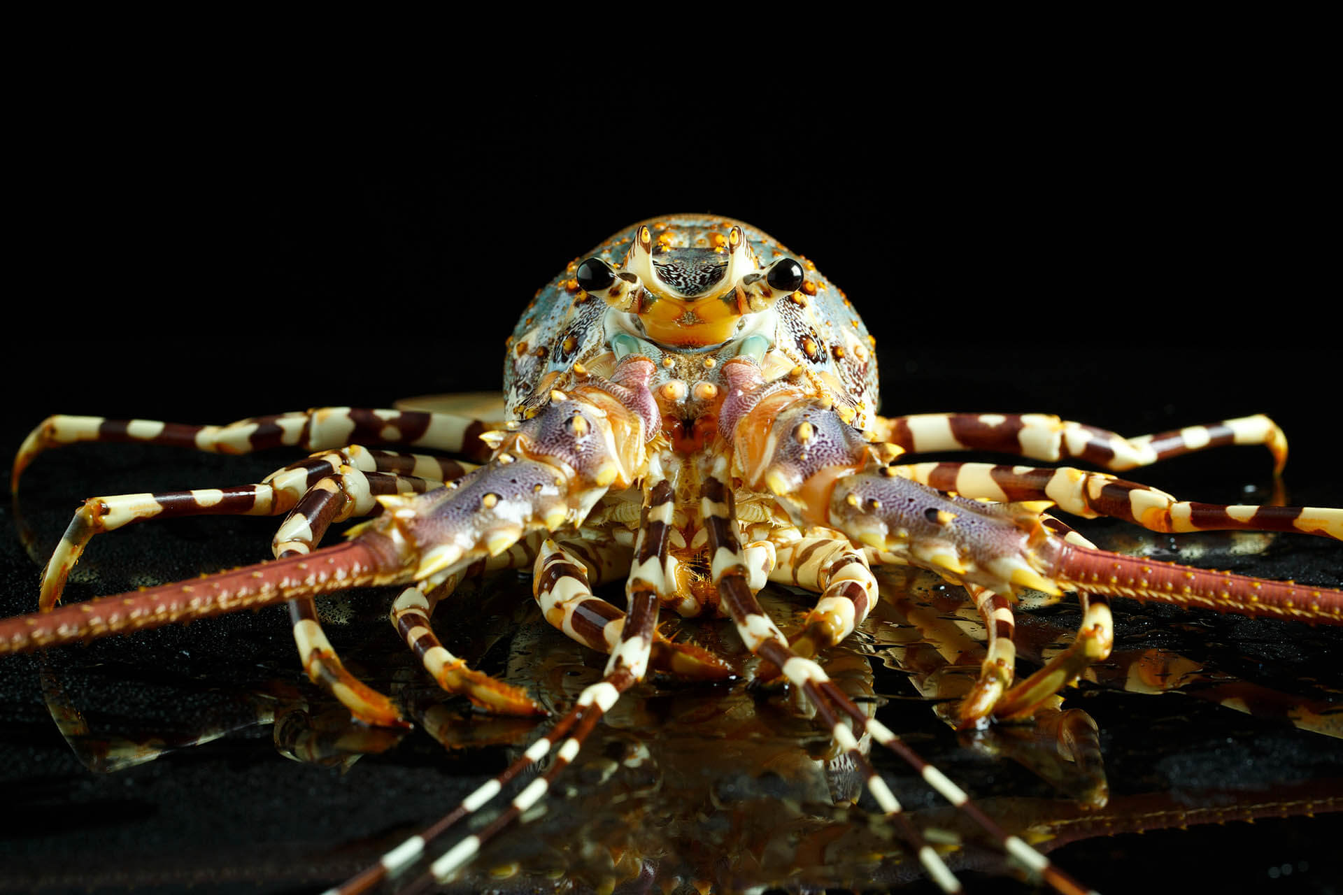 Adult Spiny Lobster