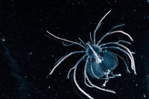 tropical-rock-lobster-phyllosoma_